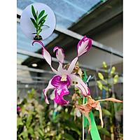 Cây hoa lan giống cấy mô Dendro Hổ mang chớp (Cây lai gieo hạt)