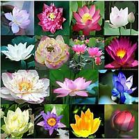 Hạt giống hoa Sen Nhật Mini nhiều màu VTS152