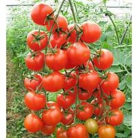 Hạt giống Cà chua chuỗi ngọc F1 - Nảy mầm cao Titapha