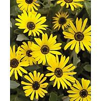 Tranh in màu decor trang trí Hoa Cúc4 _ African Daisy