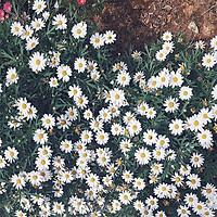 Hạt giống Hoa cúc Họa mi F1 - nảy mầm cao