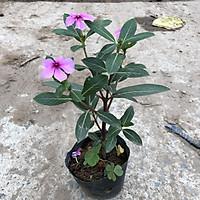 Cây hoa dừa cạn ( dừa ta ), chiều cao 15-20cm sẵn hoa sinh trưởng tốt dễ dàng chăm sóc, thích hợp trang trí cảnh quan