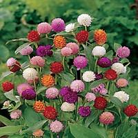 Hạt giống hoa Cúc Bách Nhật nhiều màu VTS147