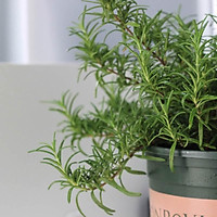 Cây Hương Thảo - Rosemary - Cây gia vị với hương thơm dịu nhẹ, vừa đuổi muỗi lại giúp thư giãn - Sẵn chậu nhựa