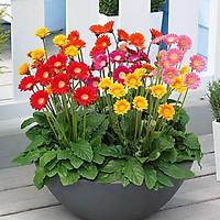 Hạt giống Hoa Đồng Tiền F1 Mix - giống nẩy mầm khỏe hoa to VTS115