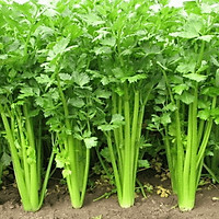 Hạt giống Rau Cần tây F1 - Nảy mầm cao Titapha