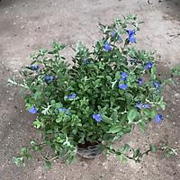 Cây mẫu đơn đỏ cao 30cm, cây dễ trồng và chăm sóc, ra hoa rực rỡ quanh năm thích hợp trồng ngoại thất