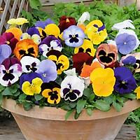 100 hạt giống hoa pansy nhiều màu