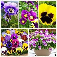 Gói 500 hạt giống hoa pansy nhiều màu (viola)