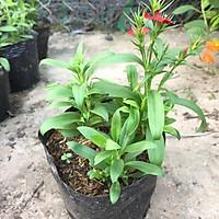 Cây hoa CẨM CHƯỚNG trồng trong bịch đen, chiều cao 15-20cm hoa nở đẹp, cây thích hợp trang trí sân vườn, cảnh quan.