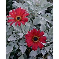 Tranh in màu decor trang trí Hoa Cúc3 _ African Daisy
