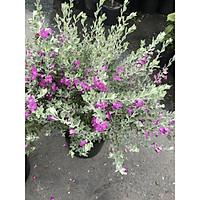 Cây hoa Tuyết Sơn gốc to tán rộng cao 70 - 90 cm