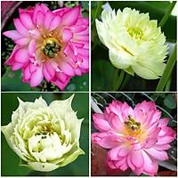 10 hạt giống sen cung đình trắng, hồng