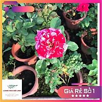 Hoa hồng Bụi Julio Iglesias  màu Sọc Đỏ Trắng, hương thơm ngọt ngào