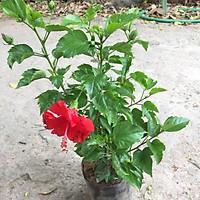 Cây dâm bụt thái đỏ trồng bịch đen to cao 30-35cm nhiều nhánh sum suê tán tròn to đẹp thích hợp trang trí hàng rào cảnh