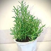 Cây hương thảo - Rosemary size trung (ảnh thật) - cây gia vị với hương thơm dịu nhẹ, vừa đuổi muỗi lại giúp thư giãn