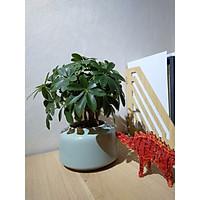 Chậu Cây Ngũ Gia Bì bonsai để bàn - bao gồm  Chậu Sứ Ceramic cao cấp