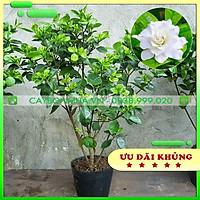 Cây Bạch Thiên Hương đã có nụ & hoa, bịch đen cao 90cm -1m, cây làm cảnh ra hoa thơm dễ chịu