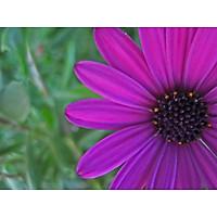 Tranh in màu decor trang trí Hoa Cúc16 _ African Daisy