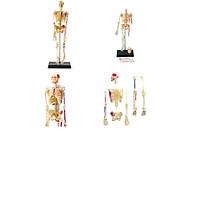 Mô hình phẫu thuật  Lắp ráp bộ xương