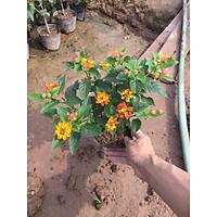 Cây hoa ngũ sắc trồng bịch bốn nhánh xum xuê hoa rực rỡ trang trí sân vườn hàng rào