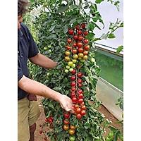 Hạt giống cà chua chuỗi ngọc