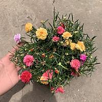Cây hoa tường vi hồng cao 30-40cm, cây cực kì sai hoa và nụ, thích hợp trồng trang trí sân vườn và gia đình