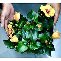 Chậu cây hoa râm bụt BS1