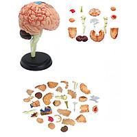 Mô hình phẫu thuật Não bốn chiều