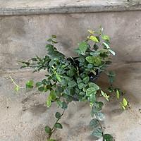 Cây dương xỉ lá bạc, lá cây màu tuyết rất lạ mắt, cây cảnh nội thất dễ chăm sóc, trồng để bàn và decor gia đình