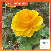 Hoa hồng ngoại Shell – Vẻ đẹp hấp dẫn trong những cánh hoa vàng rực rỡ