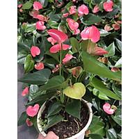 Cây hồng môn- cây con, rễ nhiều, khoẻ. Có 5 màu để lựa chọn, trồng 2-3 tháng có hoa