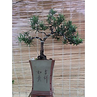 Cây tùng la hán bonsai để bàn mini nhà vườn mộc