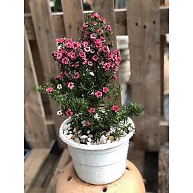 Chậu cây Nhất Chi Mai cao  39 - 45 cm
