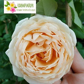 hồng LEO Crown Princess Margareta (hồng leo CPM) size chậu C9 - CayGiongTot