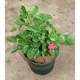 Cây hoa râm bụt BS3