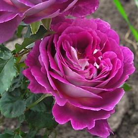 Hoa hồng Society màu Tím đậm, cây hoa hồng ngoại có bầu rễ khỏe, hoa leo giàn, mái vòm cổng, lối đi, cây trồng trang trí