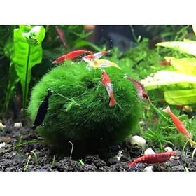 MARIO MOSS BALL - TẢO CẦU RÊU MAY MẮN NHẬT BẢN- Cây thủy sinh trang trí bể cá cảnh