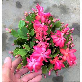 Chậu tiểu Quỳnh hoa màu đỏ