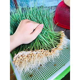 Hạt Cỏ Lúa Mì Australia chất lượng cao gói 1kg