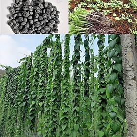 Hạt giống cây sương sâm lông rừng gói (110 hạt) nảy mầm cao, lá to, dễ trồng trên mọi loại đất