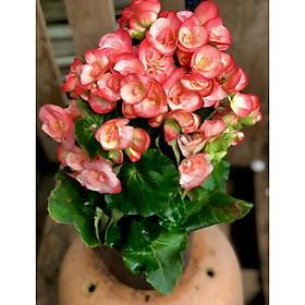 Chậu hoa Thu Hải Đường màu hồng Borias