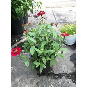 Cây Hoa Cúc Trang Trí MS9