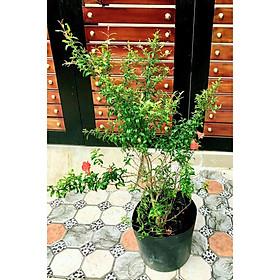 Cây lựu đỏ Ấn Độ ăn trái