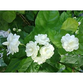 Cây hoa lài ta, cho hoa thơm trang trí sân vườn - Arabian Jasmine