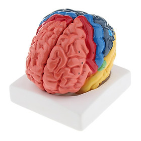 Anatomical Human Brain Model- Anatomy