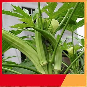 Hạt Giống Đậu Bắp Xanh - Nảy Mầm Cực Chuẩn