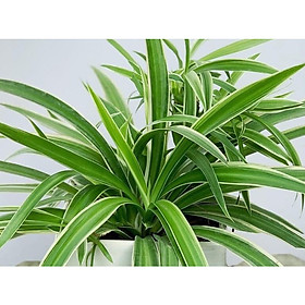 Cây để bàn cỏ nhện như hình