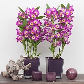 Chậu cây lan Dendro xuân nhiều thân, cho hoa Tết hàng năm - hoa bền đẹp tới 2 tháng