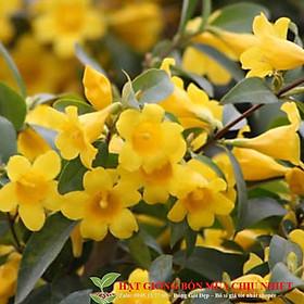 Hoa Nhài Vàng Chuẩn Giống Uy Tín Sẵn Sàng Tay Khách 20 hạt